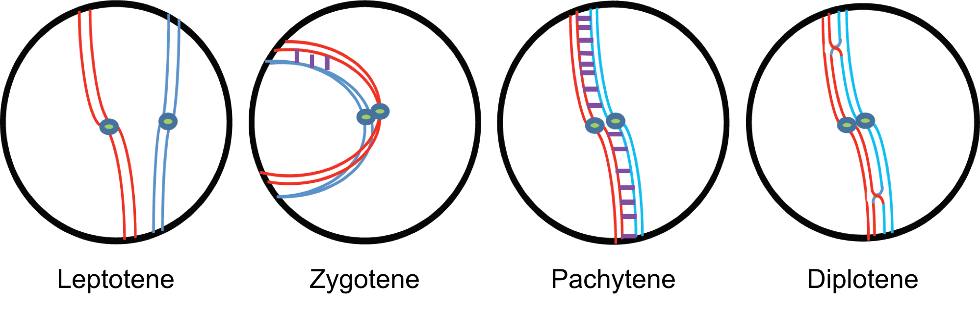 Our research burgess lab in leptotene the nucleus consists of individual strands of replicated chromosomes the two lines in zygotene synapsis of homologous chromosomes red and ccuart Gallery